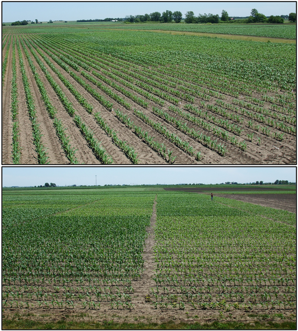 Research field with plots receiving banded P fertility