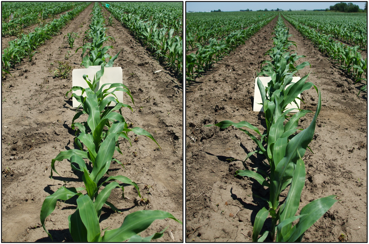Untreated check (left) versus 125 lb P2O5 (right)
