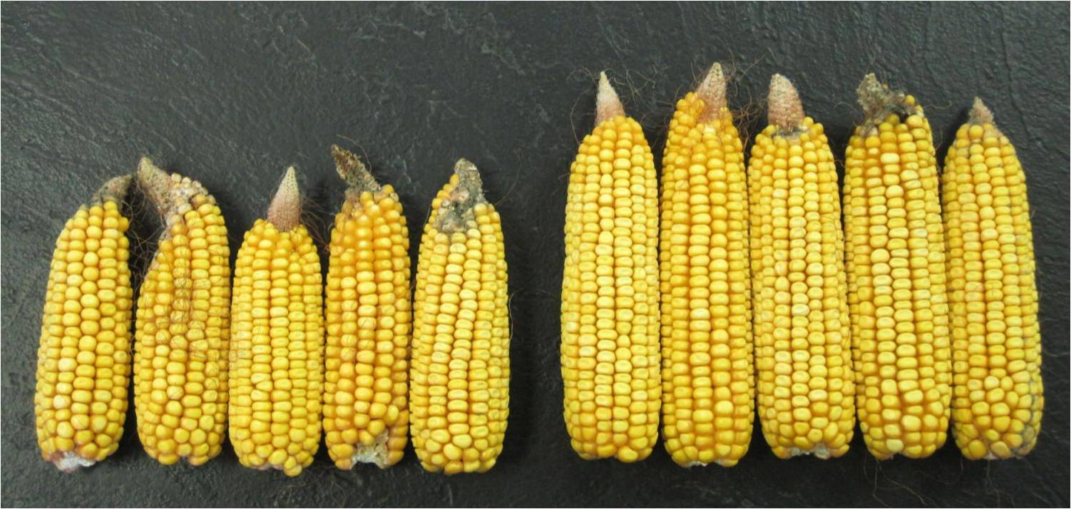 Non-CRW and CRW protected hybrids grown at low N supply